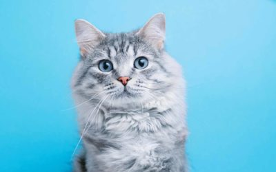 The Importance of Microchip and Tattoo Identification for Cats
