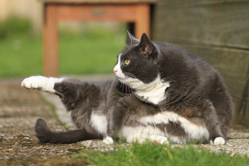 Your Cat is Overweight